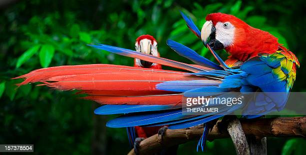 scarlet macaws perched - snavel stockfoto's en -beelden