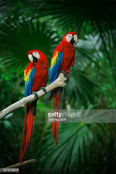 scarlet macaws - parrot stock pictures, royalty-free photos & images