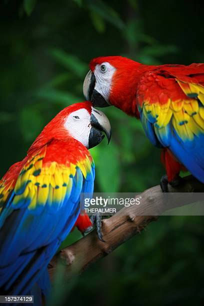 scarlet macaws - scarlet macaw stock pictures, royalty-free photos & images