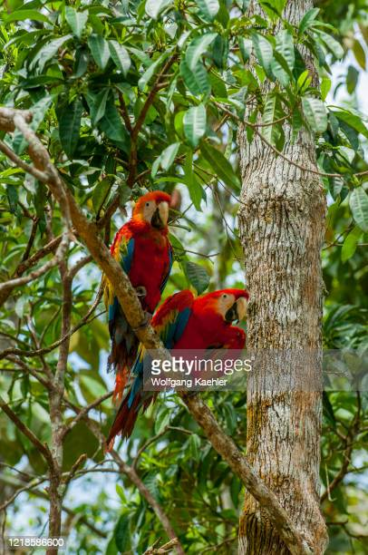 Scarlet macaws sitting in a tree at a village in the rainforest at the Maranon River in the Peruvian Amazon River basin near Iquitos.