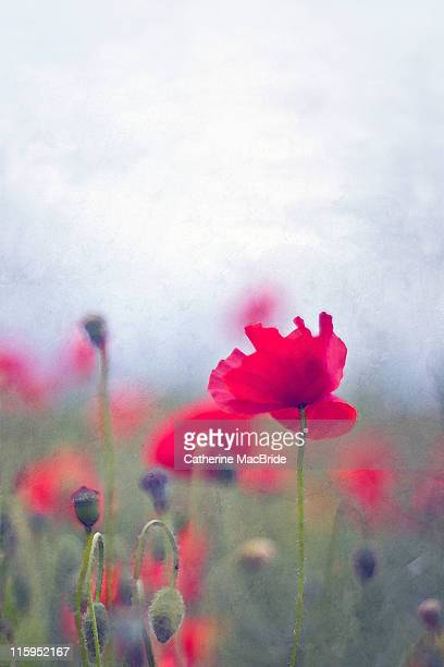 scarlet poppies in painterly style - catherine macbride ストックフォトと画像