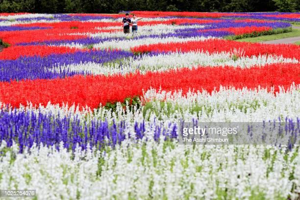 Scarlet Sage are in full bloom at Kuju Flower Park on August 30 2018 in Taketa Oita Japan