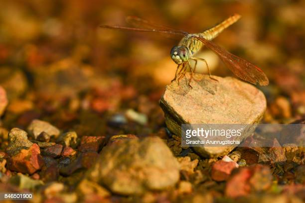 Scarlet Skimmer or Ruddy Marsh Skimmer (Crocothemis servilia) perching on a rock