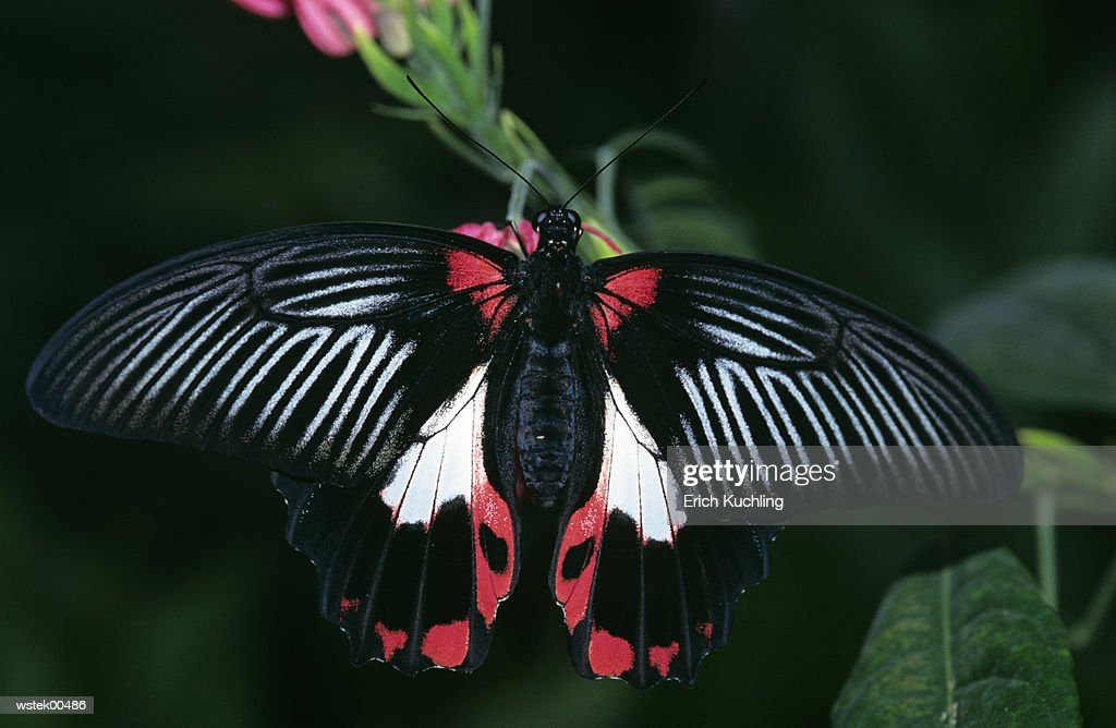Scarlet swallowtail butterfly (Papilio rumanzovia), close up : ストックフォト