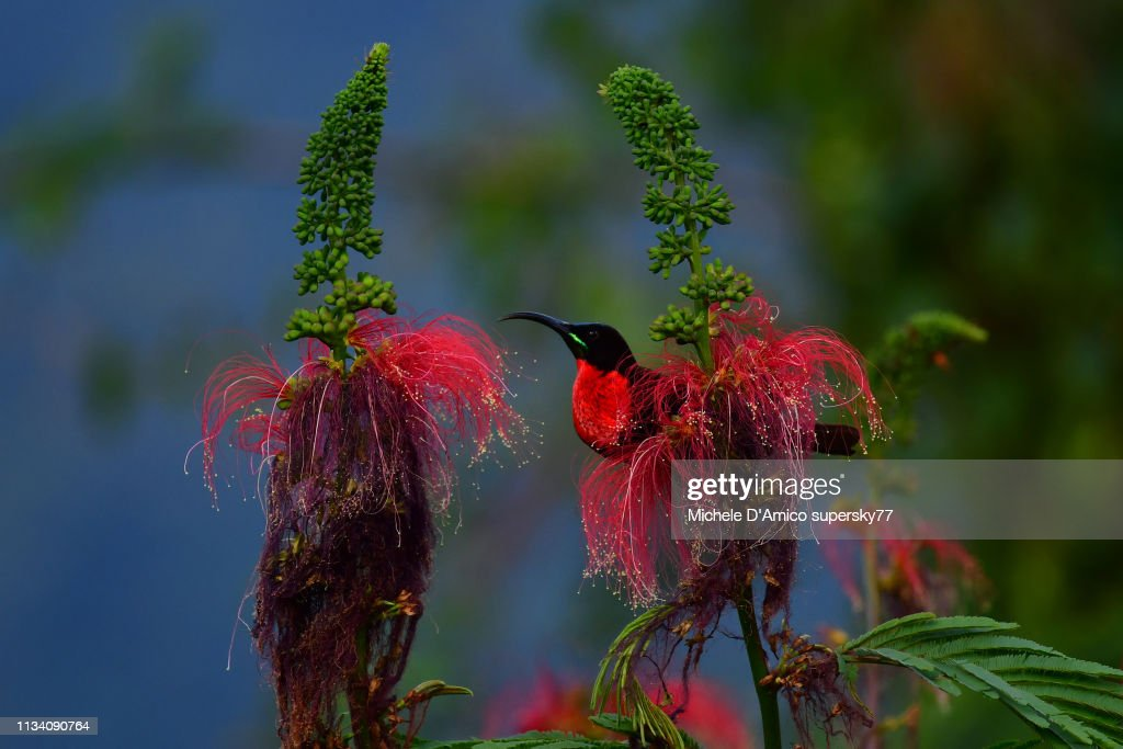 Scarlet-chested sunbird (Chalcomitra senegalensis) : Foto stock