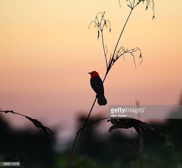 a scarlet-headed blackbird, amblyramphus holosericeus, at sunset. - alex saberi 個照片及圖片檔