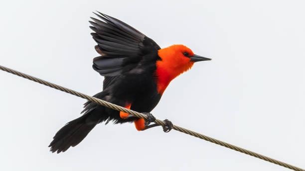 Scarlet-headed Blackbird (Amblyramphus holosericeus) Open Wings