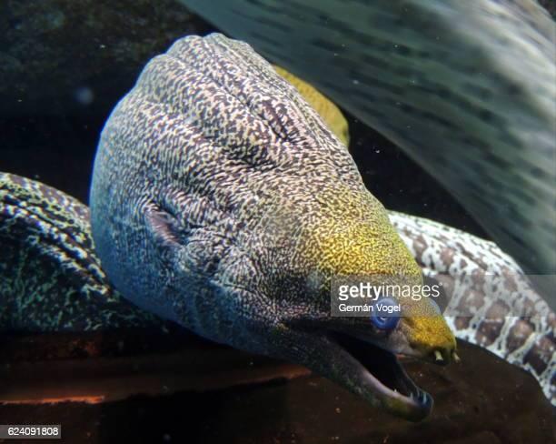 Scary Ripple Moray eel
