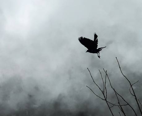 Scary Spooky Crow in the Fog - gettyimageskorea