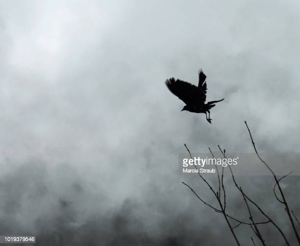 scary spooky crow in the fog - ravens stock photos and pictures