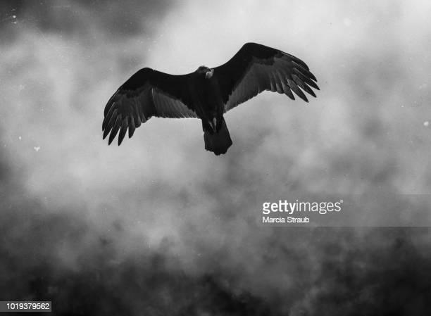 scary vulture flying - 邪悪 ストックフォトと画像