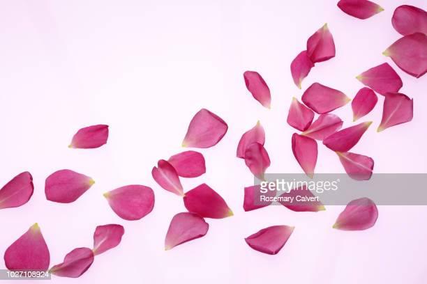 scattered fragrant pink rose petals, rosa gertrude jekyll. - bloemblaadje stockfoto's en -beelden