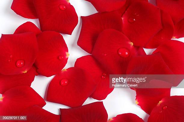 Scattered red rose petals with water droplets, close-up