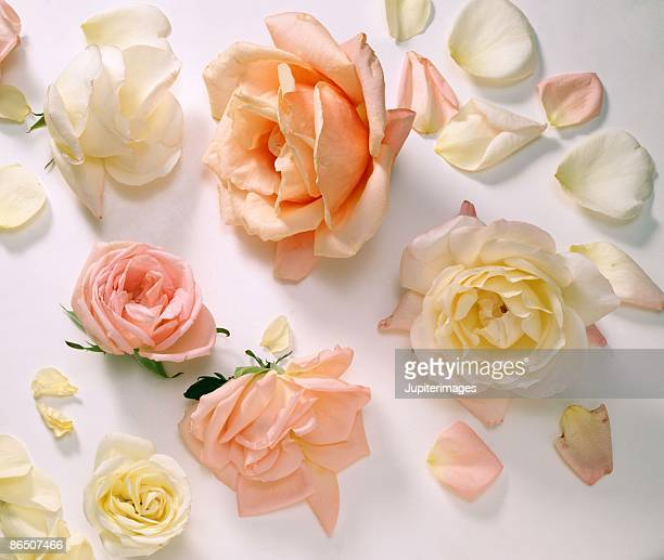scattered roses and petals - peach flower stockfoto's en -beelden