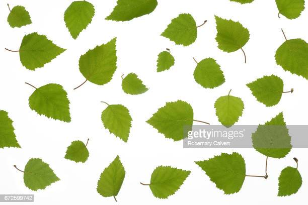 Scattered Silver Birch leaves on white background.