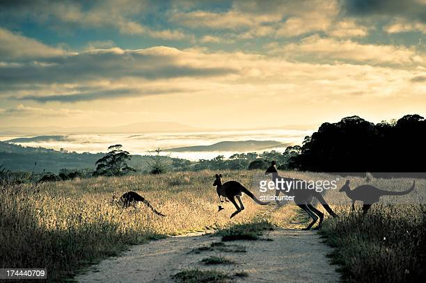 scattering rays, roos and rosella - kangaroo stock pictures, royalty-free photos & images