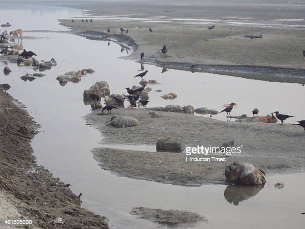 Scavenger dogs and crow gather around dead human bodies that are floating in Ganga river near Pariyar on January 13 2014 in Unnao India In a curious...