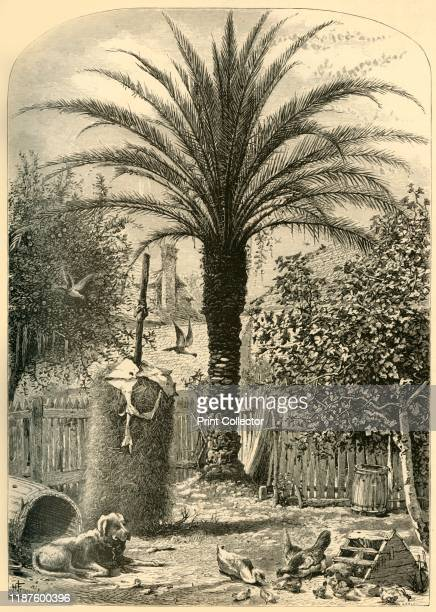 Scene in St Augustine The Date Palm' 1872 Palm tree chained dog and chickens in a back yard in St Augustine Florida USA From Picturesque America or...