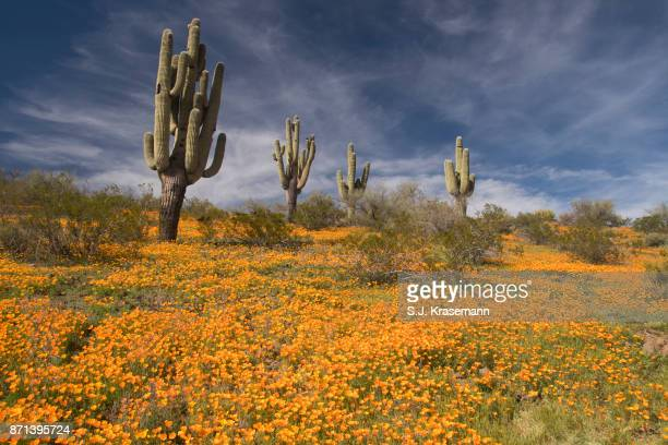 Scene of blooming yellow poppies, and cactus on San Carlos Reservation, Arizona.