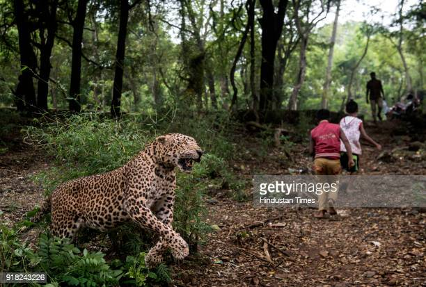 Leopard Stock Photos And Pictures