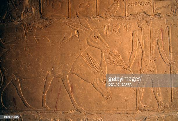 Scene with donkeys painted relief inside the Mastaba of Khnumhotep and Niankhkhnum Necropolis of Saqqara Memphis Egypt Egyptian civilisation Dynasty V