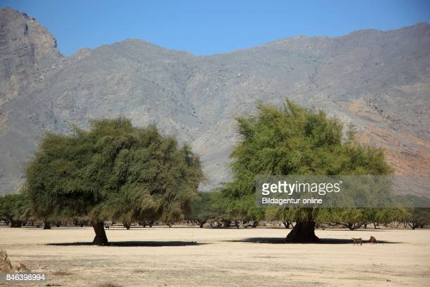 Scenery In The Wadi Sal Ala'la Acacia Wood In The Granny's Niches Enclave of Musandam Oman