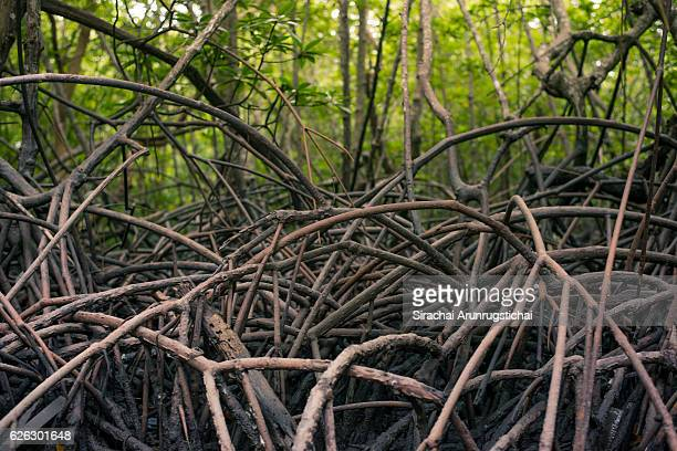 Scenery in tropical mangrove forest