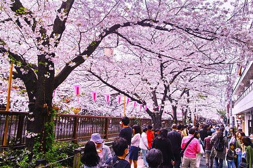 Scenery of cherry blossom festival of Meguro River - gettyimageskorea