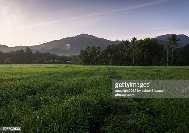 scenery of paddy field at sunrise - united_states_senate_election_in_virginia,_2012 stock pictures, royalty-free photos & images