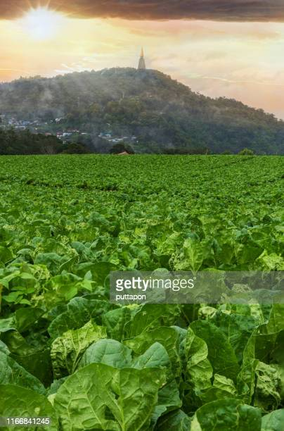 scenery of the cabbage garden on the top of phu thap boek and pa phu thap boek temple, one of the most popular tourist destinations in phetchabun province of thailand - boek stock pictures, royalty-free photos & images