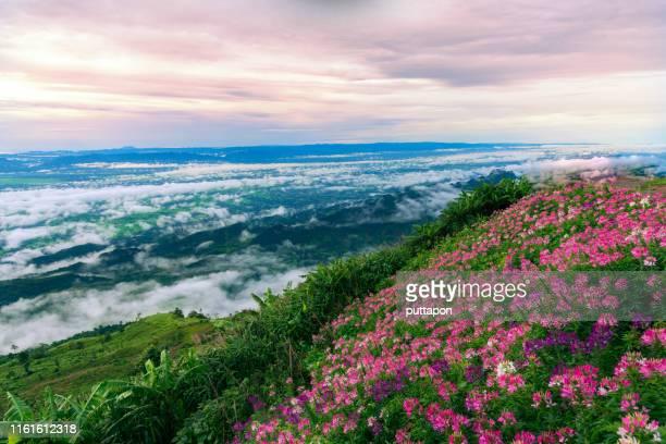 scenery of the flower garden on the top of phu thap boek, one of the most popular tourist destinations in phetchabun province of thailand - boek stock-fotos und bilder