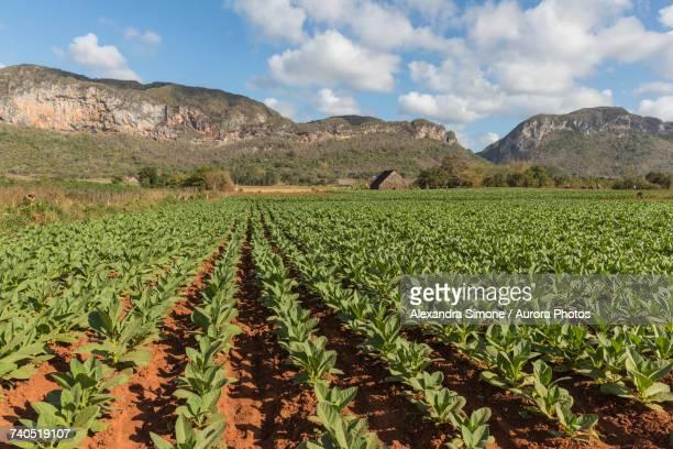 scenery of tobacco field with mountains in background - valle de vinales stock-fotos und bilder