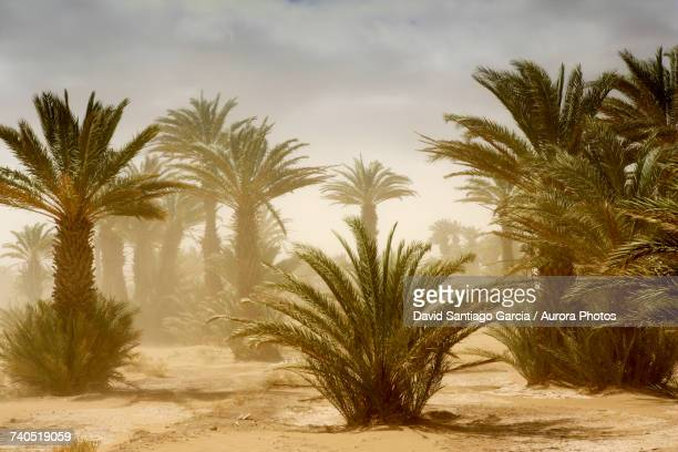 scenery with date palm trees - date palm tree stock pictures, royalty-free photos & images