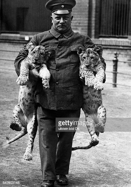 Scenes from the Berlin Zoo Keeper Petrus Olesen with two leopard cubs - 1929 - Photographer: Hans Henschke - Published by: 'Berliner Morgenpost'...