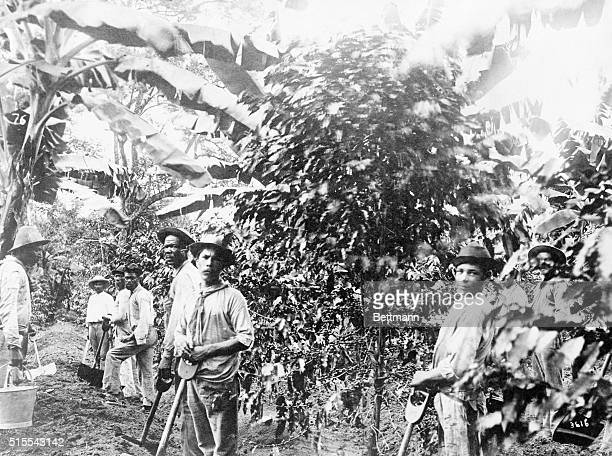 Scenes on Coffee Plantation at Costa Rica Laborers cultivating the plants