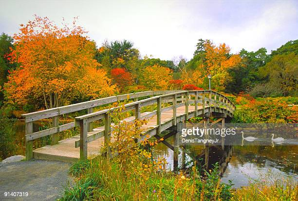 scenic autumn bridge with swans - plymouth massachusetts stock photos and pictures