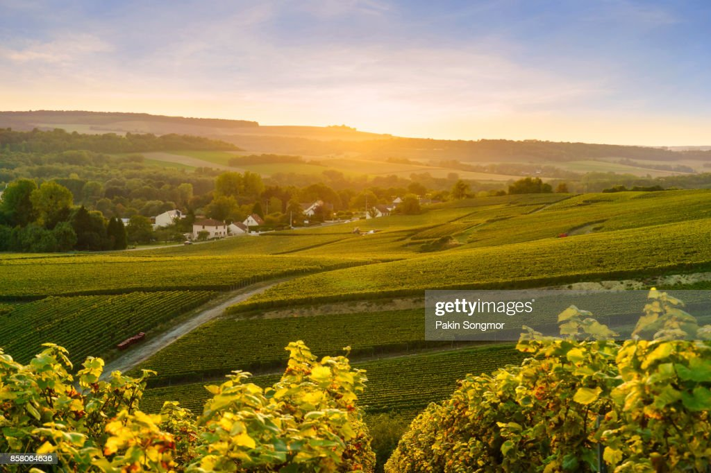 Scenic landscape in the Champagne at sunrise time, Vineyards in the Montagne de Reims, France : Stock Photo