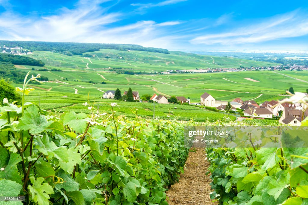 Scenic landscape in the Champagne, Vineyards in the Montagne de Reims, France : Stock Photo