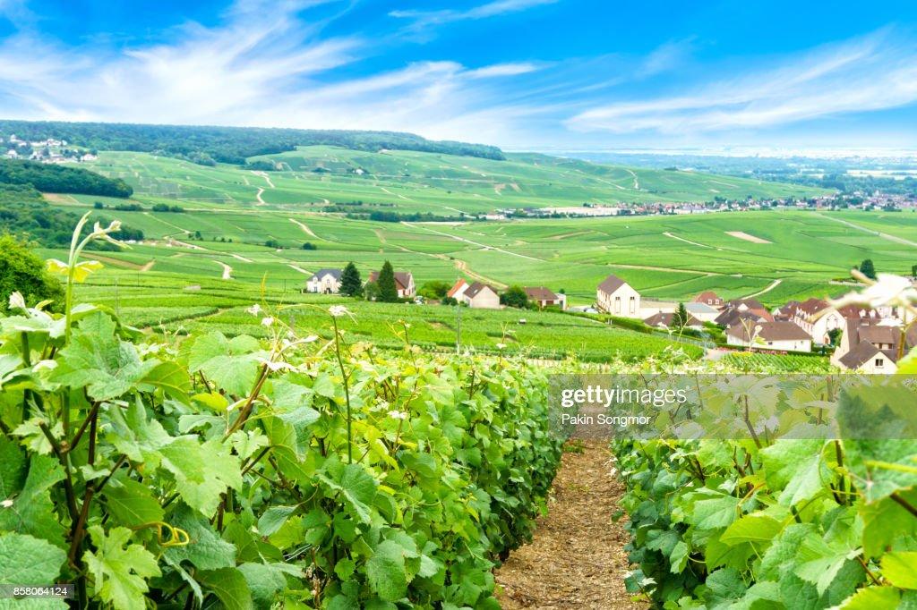 Scenic landscape in the Champagne, Vineyards in the Montagne de Reims, France : Foto de stock