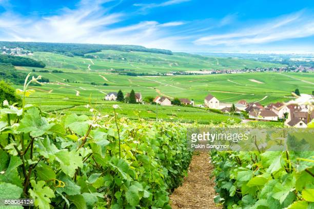scenic landscape in the champagne, vineyards in the montagne de reims, france - aquitaine stock photos and pictures