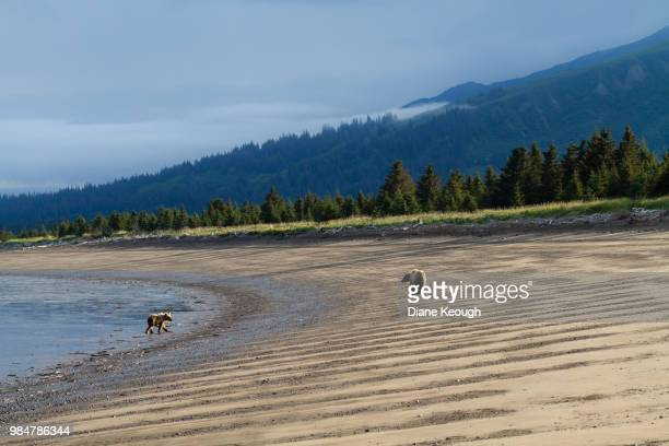 Scenic landscape of alaskan beach in national park with a mother grizzly bear and her cub. They are walking along the beach  a few meters apart away from the camera and looking towards each other. Moody sky and mountains in the background with pine trees.