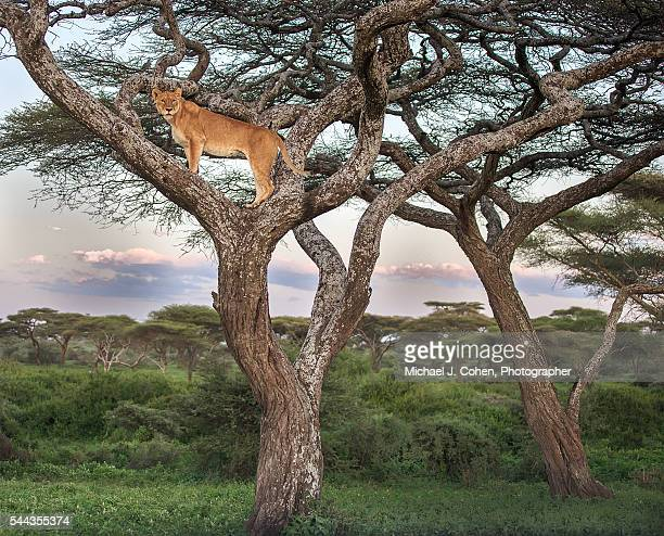 Scenic of Lioness in a Tree