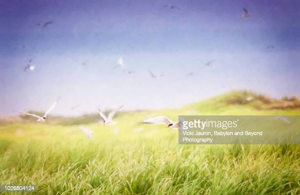 scenic panorama of terns and grass at nickerson beach, long island - rookery stock pictures, royalty-free photos & images