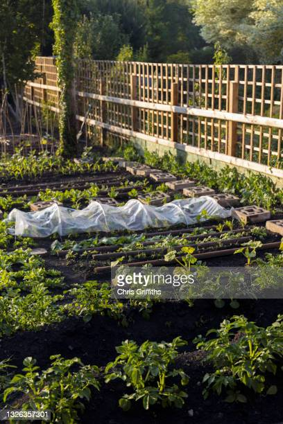 scenic photo of vegetable garden allotment at sunset - crop stock pictures, royalty-free photos & images