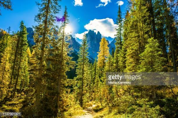 floresta cénico do pinho em alpes da dolomite, italy - árvore de folha caduca - fotografias e filmes do acervo
