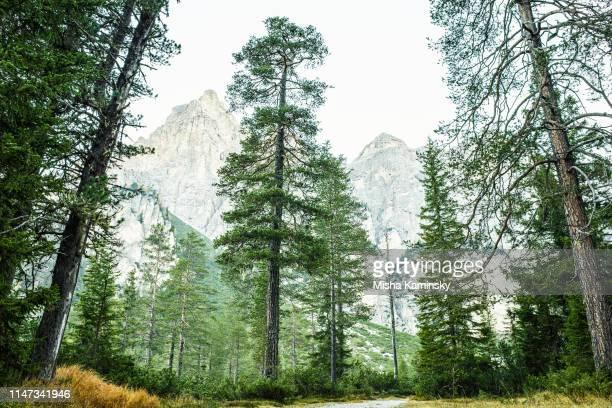 scenic pine woodland in dolomite alps, italy - bosco foto e immagini stock