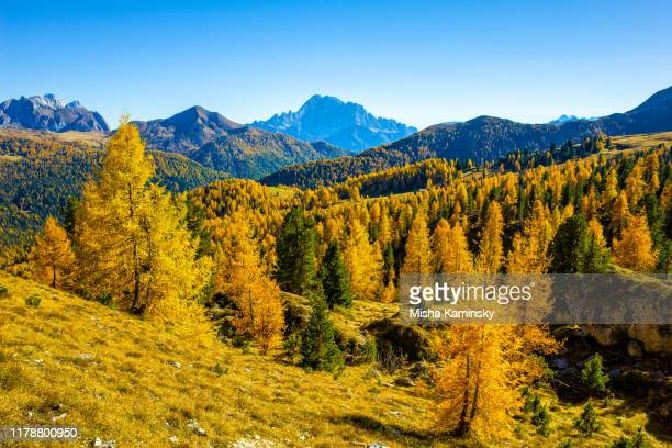 scenic pine woodland in dolomite alps, italy - larch tree stock pictures, royalty-free photos & images