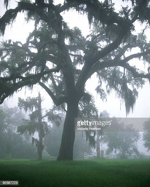 scenic tree with spanish moss - musgo español fotografías e imágenes de stock