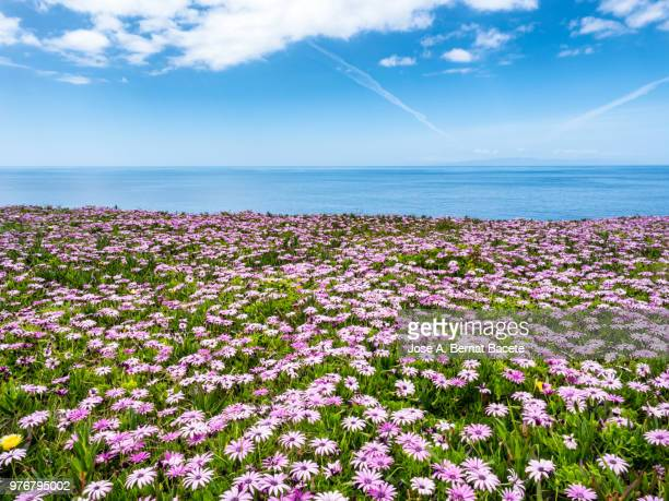 scenic view of a meadow of green grass and flowers of colors by the sea against sky. - flower head stock pictures, royalty-free photos & images