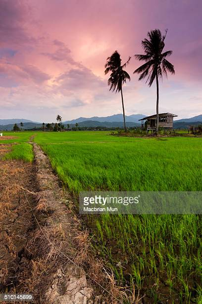 Scenic view of a paddy field in Borneo